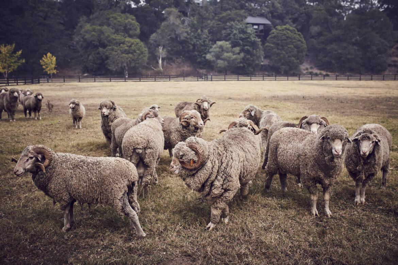 Sheep-scaled.jpg